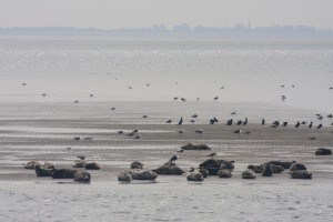 Seals and seagulls on the mud flats