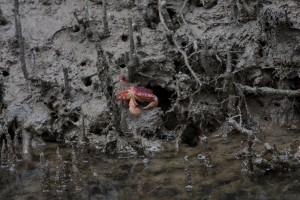 An orange crab in the mud