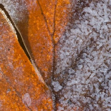 Autumn leaf with ice crystals