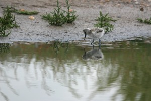 Pied avocet young